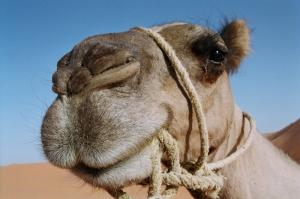 camello-tiene-3-parpados