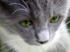 Cuál-es-la-función-de-los-bigotes-de-un-gato