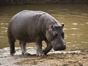 hipopotamo_curiosoanimal.blogspot.com