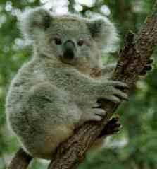 Koala450j