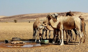 2.1316551204.camellos-bebiendo