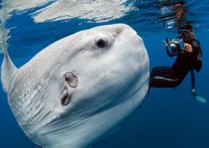 pez-luna-gigante