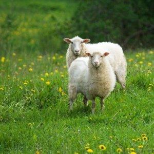 980010-ovejas-diente-de-leon-en-campo