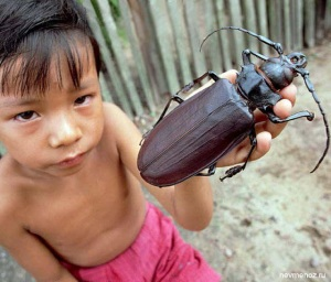 Titanus giganteus el escarabajo mas grande del mundo 2
